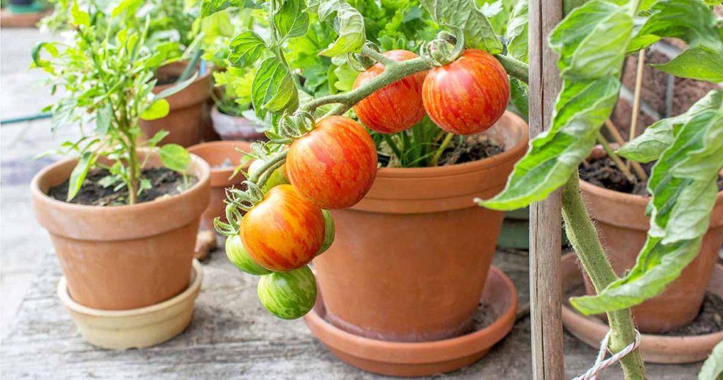การปลูกผักในกระถาง ทำเองได้ง่าย