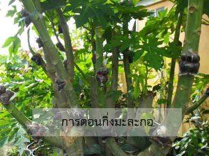 การตอนกิ่งมะละกอ