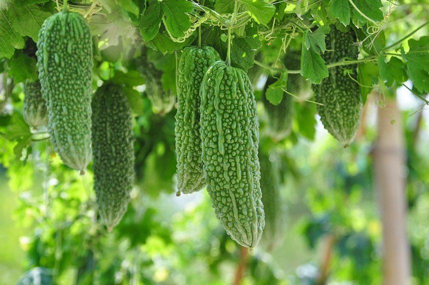 มะระ ผักสวนครัวรั้วกินได้