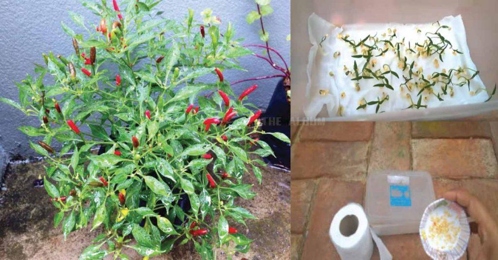 การปลูกพริกขี้หนูสวนให้ลูกดก การแกล้งพริก ปลูกพริกลูกดก