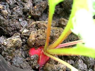 หัวผักกาดแดง ผักสวนครัวที่ปลูกง่าย สร้างรายได้งาม