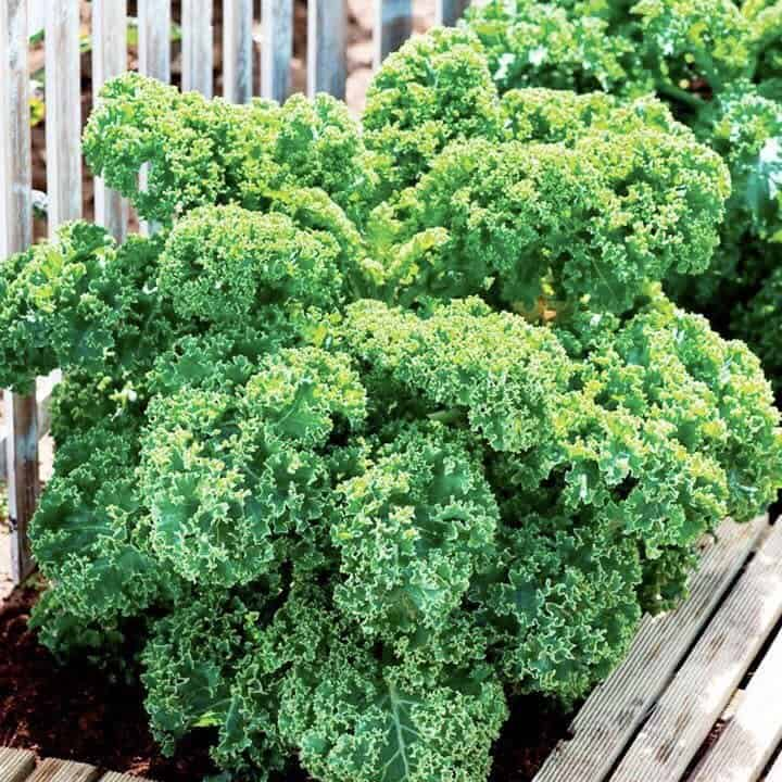 สายพันธุ์ผักเคล Vate Blue Curled Kale