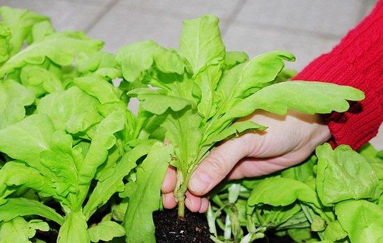 ปลูกตั้งโอ๋ ผักสวนครัวในกระถาง ปลูกง่าย ได้ผลผลิตดีแม้พื้นที่มีจำกัด