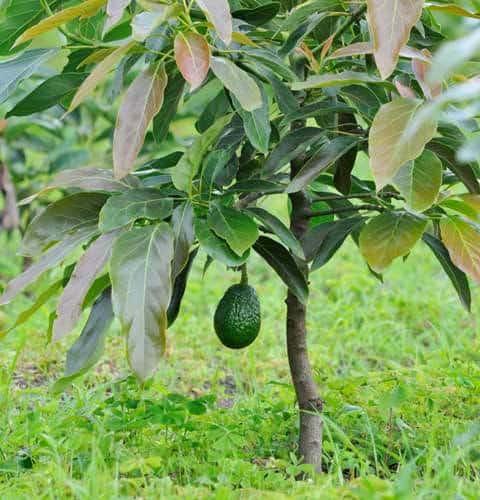 การปลูกต้นอะโวคาโดลงดิน และปลูกในกระถาง ทำอย่างไรให้ติดผล