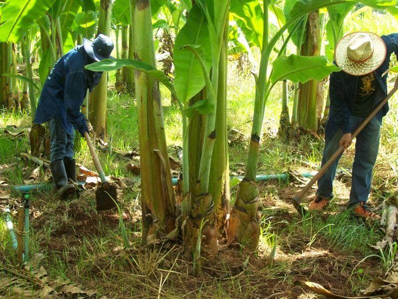 เทคนิคการขยายพันธุ์กล้วยด้วยวิธีการผ่าหน่อ