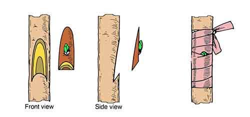 การติดตาแบบ Chip Budding
