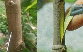 เทคนิคการติดตา ขยายพันธุ์พืช เพิ่มผลผลิต เพิ่มรายได้