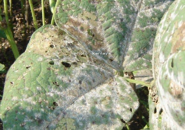 โรคราแป้งในถั่วฝักยาว และการป้องกัน