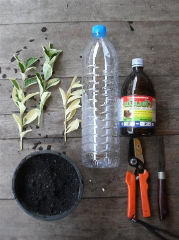 เทคนิคการปักกิ่งชำในขวด พืชงอกเร็ว รอดตายสูง