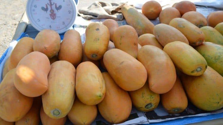 ปลูกมะละกอ 1 ไร่ ได้เดือนละแสน