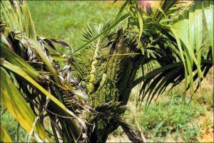 อาการขาดธาตุอาหารโบรอนของพืช