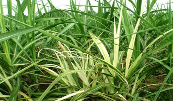 อาการพืชขาดธาตุทองแดง