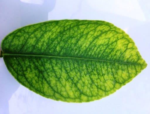 อาการขาดธาตุฟอสฟอรัสของพืช