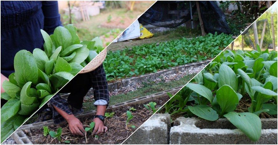 วิธีการปลูกผักกวางตุ้งไว้ในสวนหลังบ้าน
