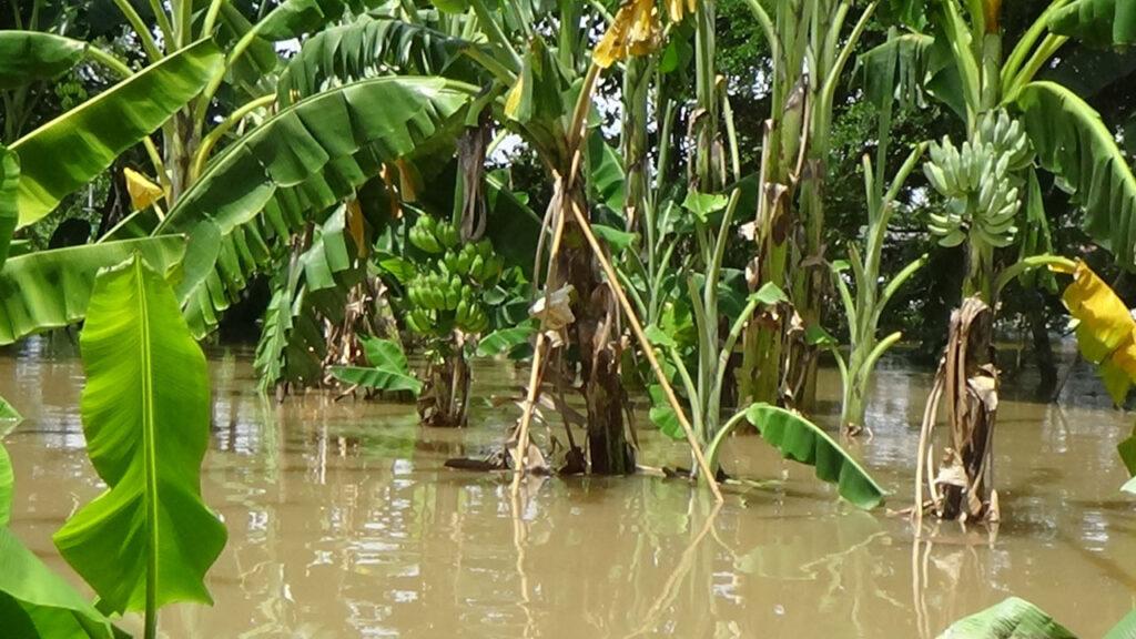 ปลูกกล้วยในพื้นที่น้ำท่วมบ่อย แล้วได้ผลผลิตสูง
