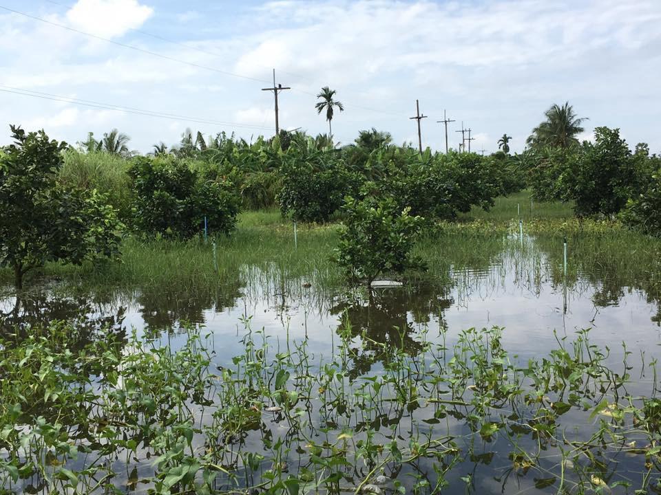 ปลูกมะม่วงเบาในพื้นที่น้ำท่วมบ่อย แล้วได้ผลผลิตสูง