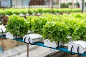 ปลูกผักไร้ดินแบบง่าย