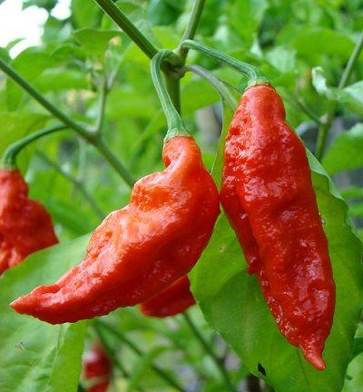 พริกผี Ghost Pepper พริกผี Bhut Jolokia Pepper