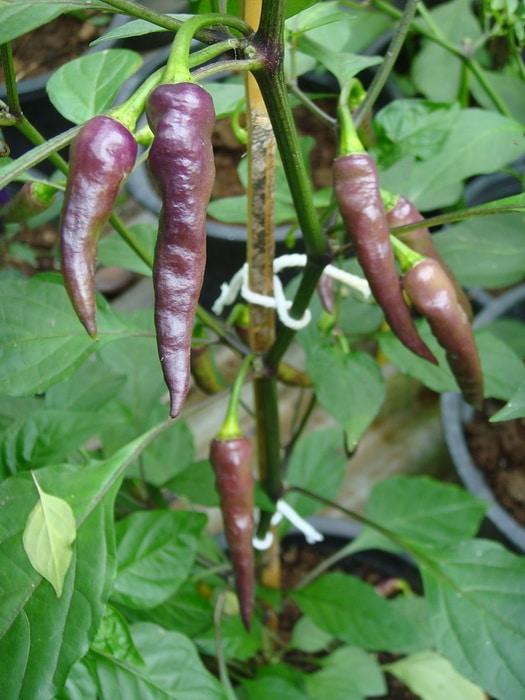 พริกคาเยน cayenne pepper สีม่วง