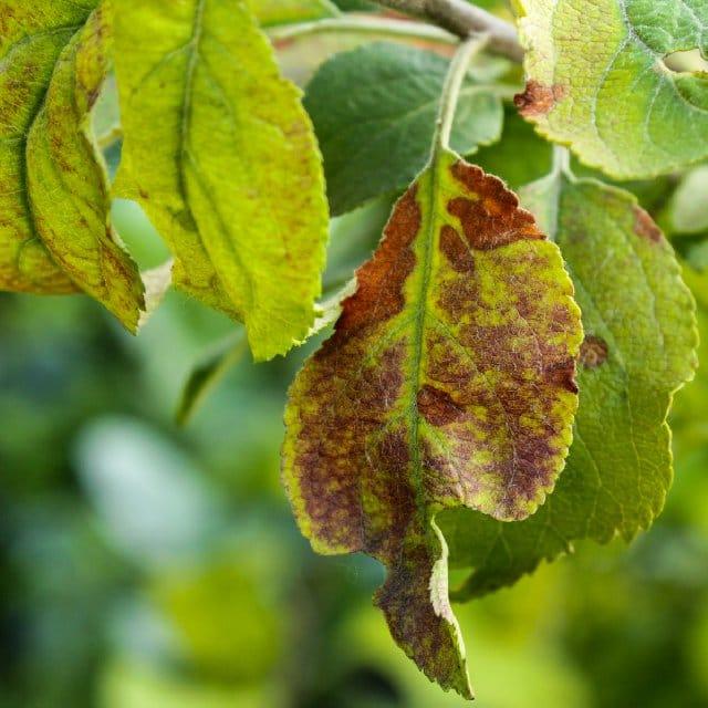 อาการขาดแมงกานีสในพืช การปลูกถั่วฝักยาวในกระถาง