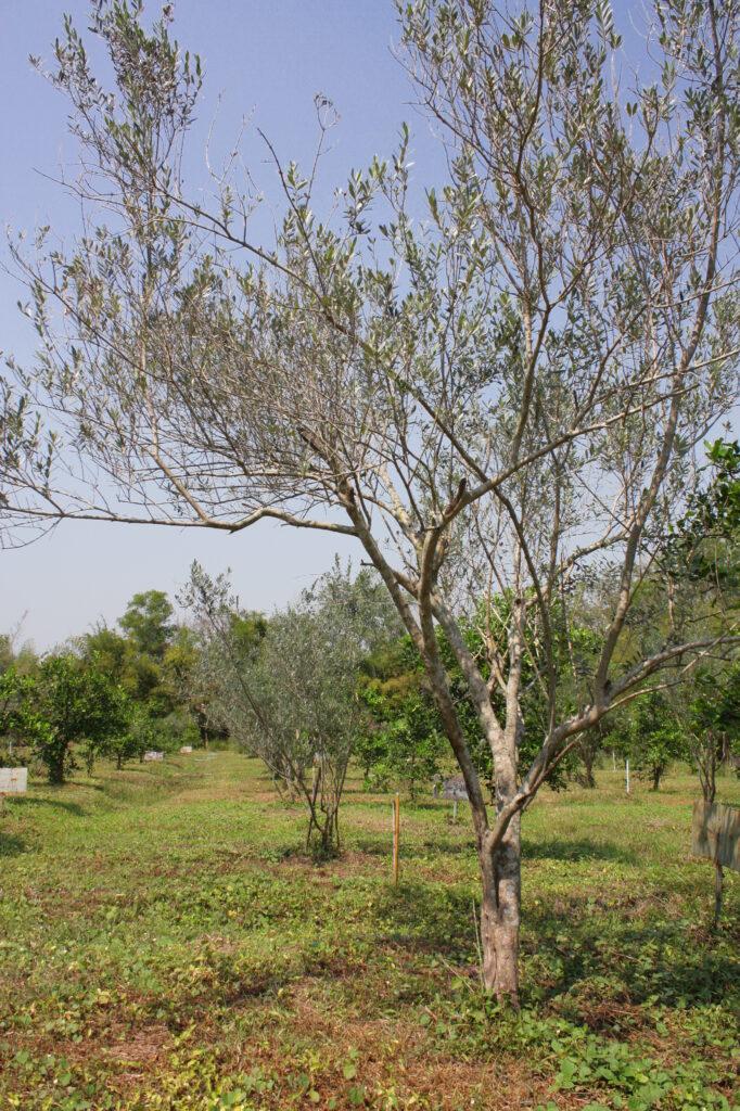 ต้นมะกอกโอลีฟ