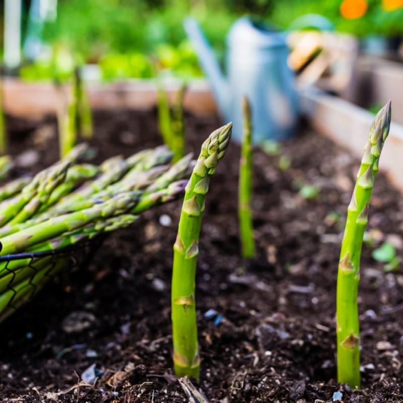 Hybrid Imperial asparagus