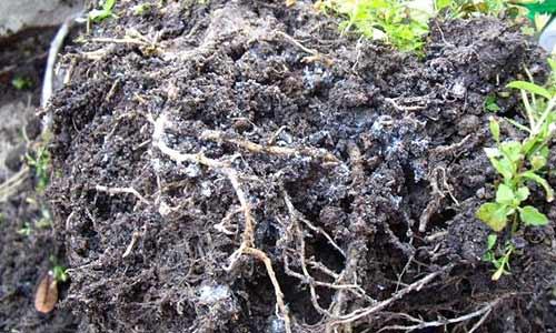 เชื้อราในดิน ปัญหาของคนปลูกผักในกระถาง